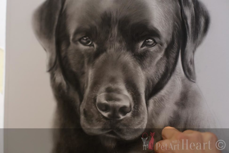 Labrador portrait work in progress