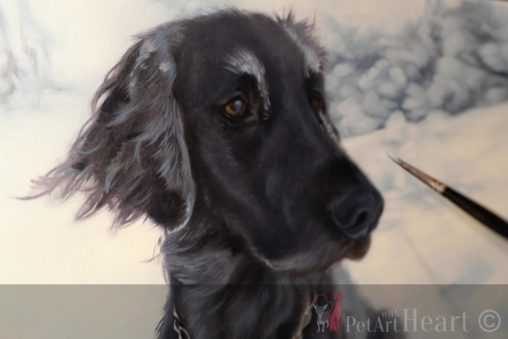 Flat coated retriever laddie in progress