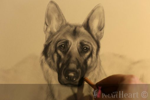 german shepherd pastel progress