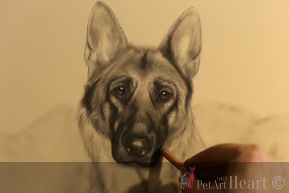 german shepherd pastel progress