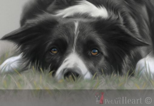 pastel portrait border collie