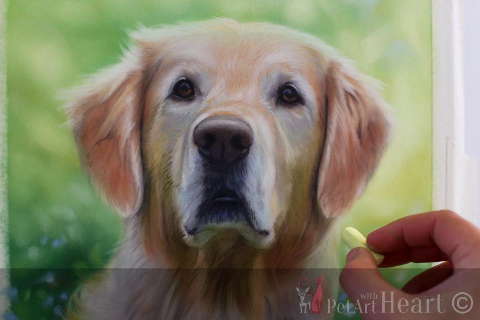 pastel portrait golden retriever progress