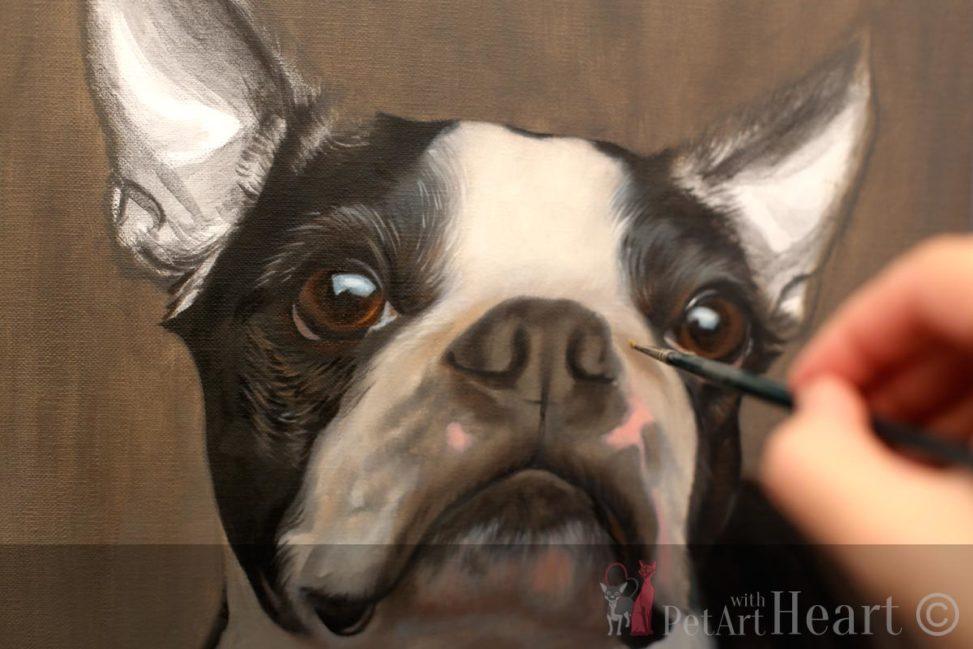 boston terrier pet portrait progress