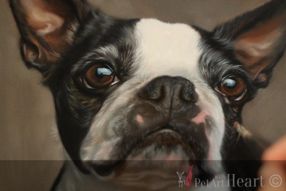 boston terrier oil portrait progress