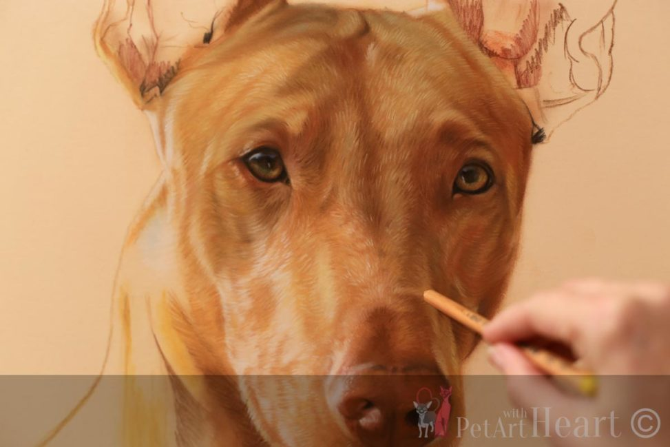pharaoh hound pastel portrait progress