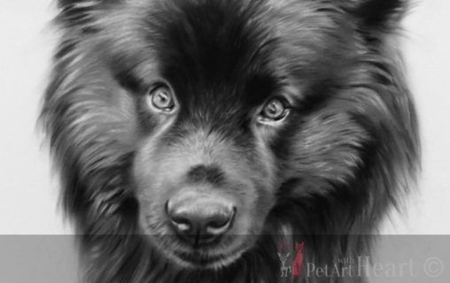 pastel portrait swedish lapphund