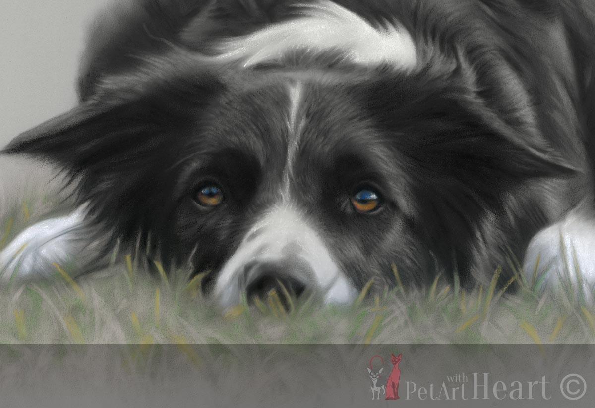 pastel portrait border collie
