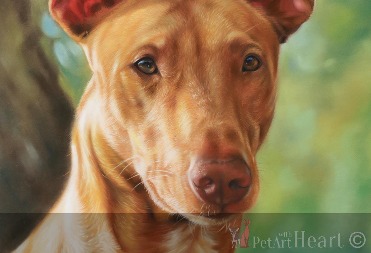 dog portrait pharaoh hound