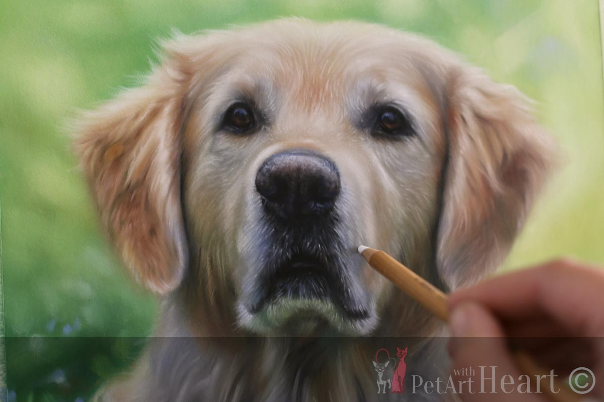 dog pastel portrait golden retriever progress