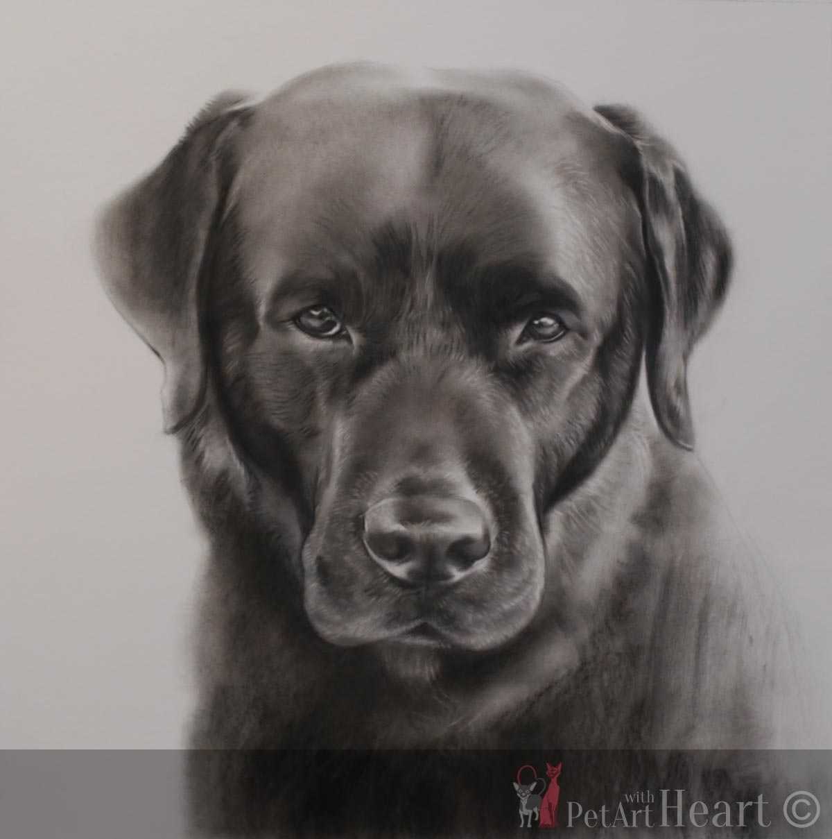 Black labrador portrait next stage