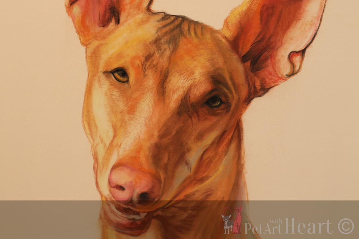 pastel portrait pharaoh hound progress