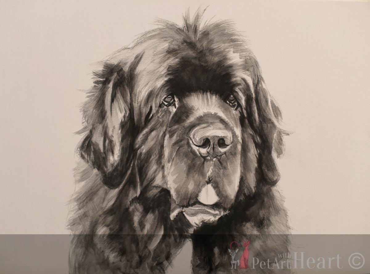 newfoundland dog pet portrait progress