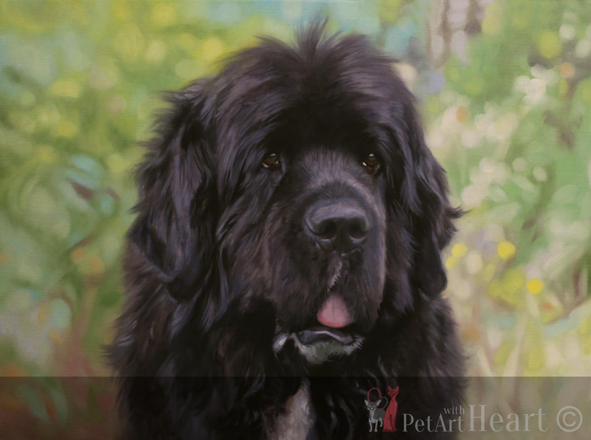 newfoundland dog pet portrait progress background stage