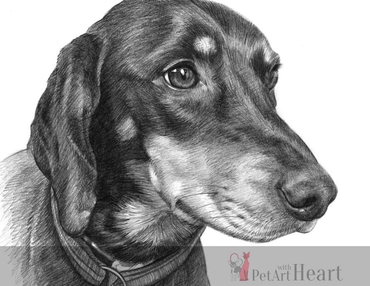 slovensky kopov dog pencil sketch
